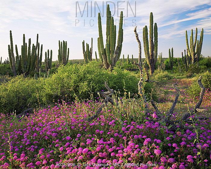 Cardon Cacti (Pachycereus pringlei) with flowering Sand Verbena (Abronia villosa) and Narrowleaf Globemallow (Sphaeralcea angustifolia), Vizcaino Desert, Baja California Sur, Mexico, Central America