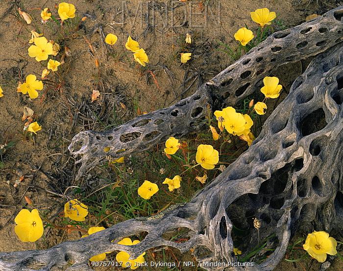 Evening Primrose (Oenthera sp) flowers amid a Cholla Cactus (Opuntia cholla) skeleton, Vizcaino Desert, Baja California Sur, Mexico, Central America