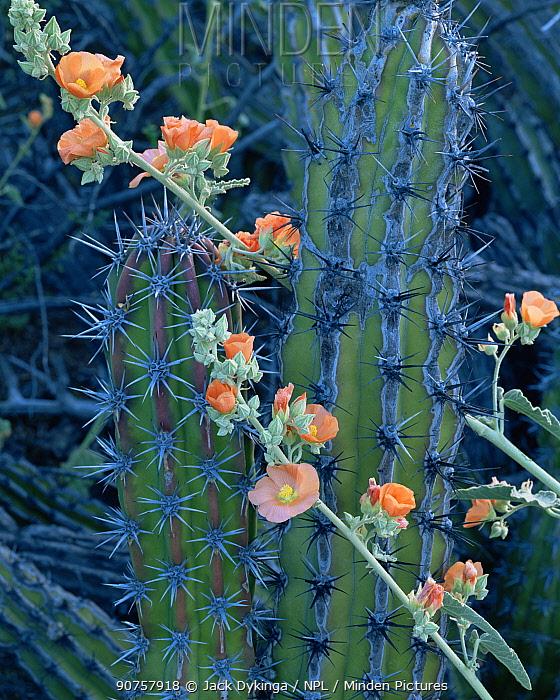 Galloping Cactus (Machaerocereus gummosus) with flowering Globemallow (Sphaeralcea sp), Tres Virgenes, Baja California Sur, Mexico, Central America