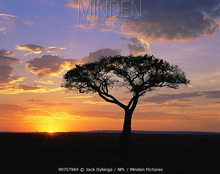 Sun setting behind an Acacia tree with vultures roosting in its canopy. Masai Mara, Kenya