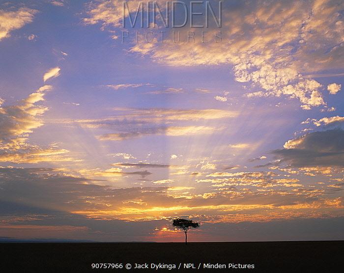 Rays of light illuminating the sky as the sun sets behind an Acacia tree, Masai Mara, Kenya