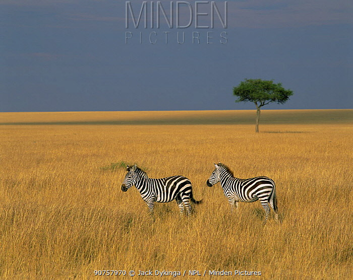 Two Common zebras (Equus quagga) in long grasses, with a lone Acacia tree in the background. Masai Mara, Kenya