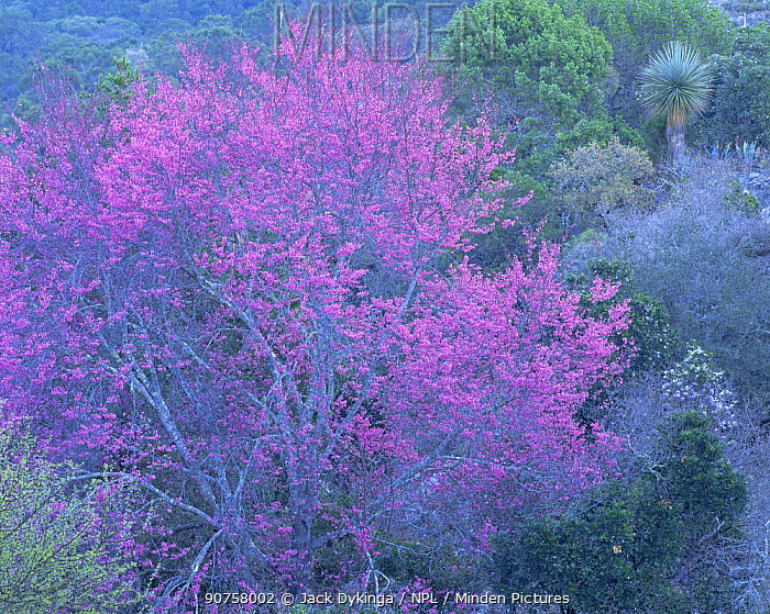 Flowering redbud (Cercis sp) in a heavily vegetated arroyo / valley in the Chihuahuan Desert, Tamaulipas, Mexico