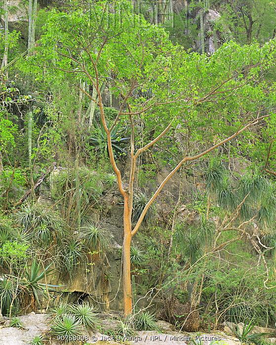 Servilletta Canyon's walls with Gumbo Limbo (Bursera simaruba) trees, bromeliads (Bromeliad sp), agaves (Agave sp) and Prickly pear cacti (Opuntia sp). Tamaulipas, Mexico
