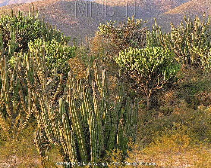 Flowering Garambullo (Myrtillocactus geometrizans) and Pitaya (Stenocereus griseus) amid creosote (Larrea tridentata) in the Chihuahuan Desert, Tamaulipas, Mexico