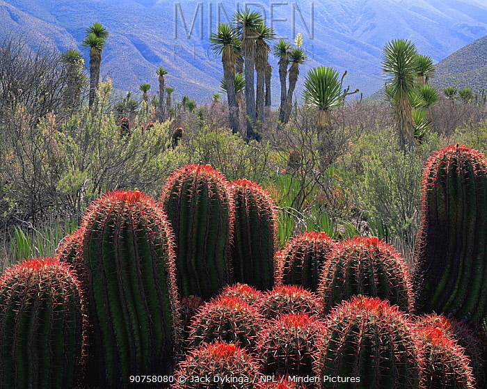 A cluster of flowering Barrel cacti (Ferocactus stainsii) with Yuccas (Yucca sp) in the Eastern extension of the Chihuahuan Desert, Tamaulipas, Mexico