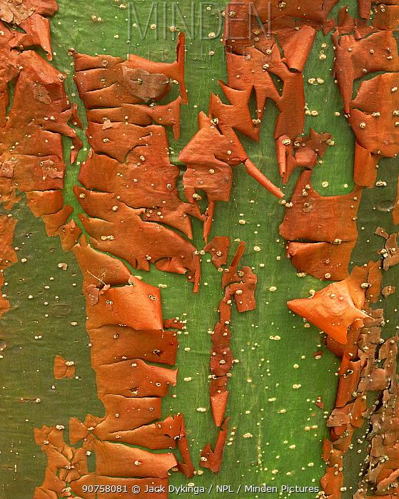 Close up of the curled bark of a Gumbo limbo tree (Bursera simaruba), El Cielo foothills, Tamaulipas, Mexico