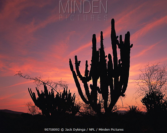 Garambullo (Myrtillocactus geometrizans) and Pitaya (Stenocereus griseus) silhouetted at sunset, in Tamaulipas, Mexico