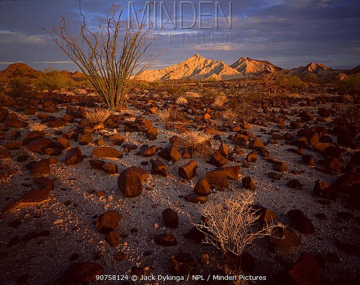 Ocotillo cactus (Fouquieria splendens) in desert landscape strewn with rod lava rock, Cabeza Prieta Mountains in the distance, dawn, Cabeza Prieta National Wildlife Refuge, Arizona, USA