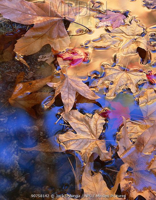 Leaves of Arizona sycamore (Platanus Wrightii) and Bigtooth maple (Acer saccharum grandidentatum) floating on water, South Fork Cave Creek, Coronado National Forest, Chiricahua Wilderness, Chiricahua Mountains, Arizona, USA