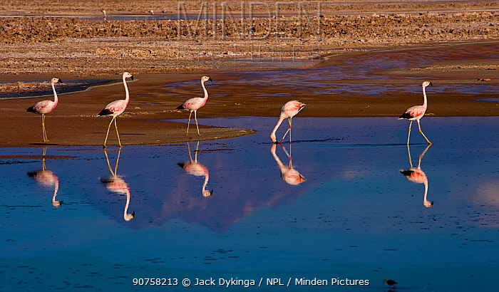 Flock of Chilean Flamingos (Phoenicopterus chilensis) feeding, with the reflection of Andean volcanos in the heavily salted waters of this laguna, Atacama Desert, Los Flamencos National Reserve, Chile, April 2009