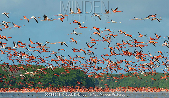 Greater flamingos (Phoenicopterus ruber) take to the air, in the Ria Celestun Biosphere Reserve, Yucatan state, Mexico