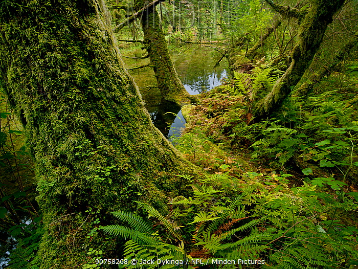Moss covered tree trunks in the Great Bear temperate rain forest of coastal Britsh Columbia, Canada,
