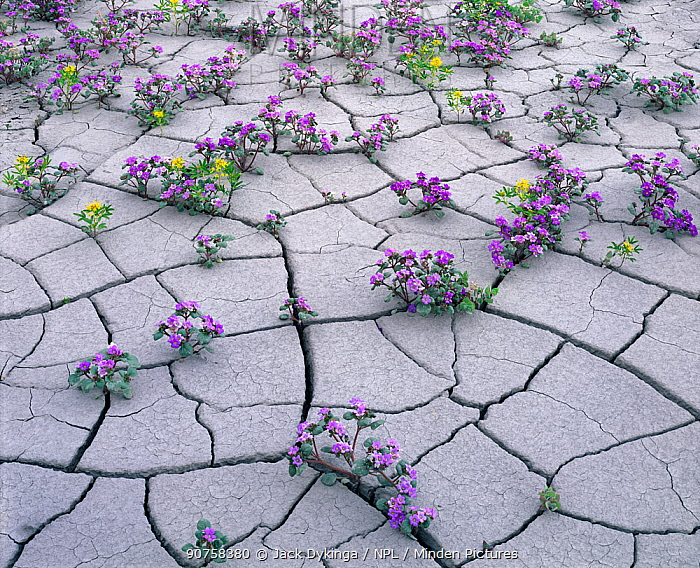 Flowering plants in  dried out mud,  including Yellow Beeplant (Cleome lutea) and Pretty Phacelia (Phacelia pulchella var. sabulonum) Factory Bench, Fremont, Utah, USA, May.