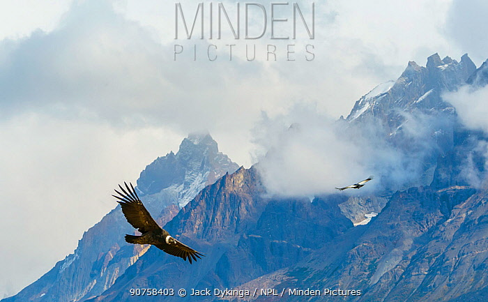 Male Andean Condor (Vultur gryphus) flying amongst the clouds, Los Cuernos Peaks, Torres del Paine, Chile. March.