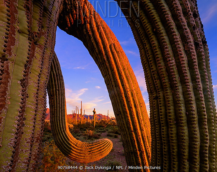 Saguaro cactus (Carnegiea gigantea) with twisted arms at sunset, with Ajo Mountains in the background, Arizona, USA.