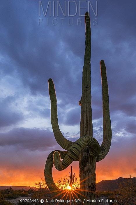 Frost damaged Saguaro cactus (Carnegiea gigantea)  with sunset light shining through limbs. South Maricopa Mountains Wilderness, Arizona, USA, March 2015.