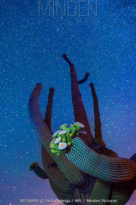 Saguaro cactus (Carnegiea gigantea) in flower at night, with The Milky Way behind, Sonoran Desert National Monument, Sierra Estrella Mountain Wilderness, Arizona, USA, May.