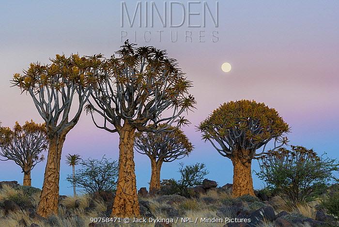 Quiver trees (Aloe dichotoma) at sunset with moon, Namib Desert, Namibia.