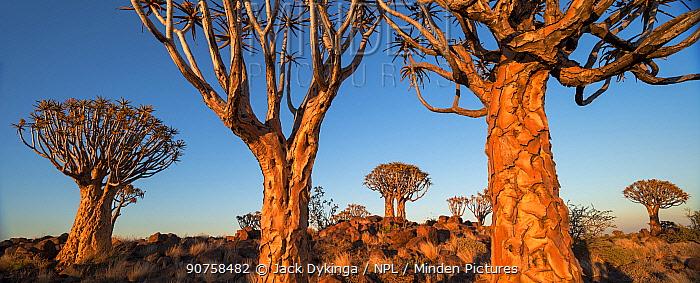 Quiver trees (Aloe dichotoma) at sunrise, Namib Desert, Namibia.