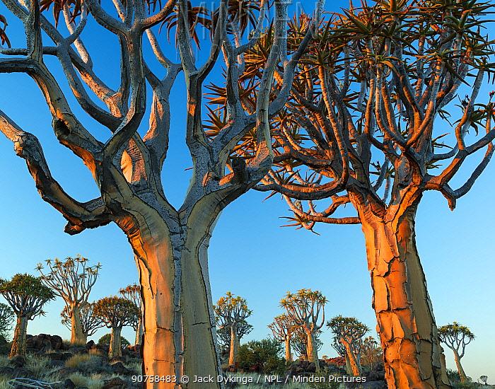 Quiver trees (Aloe dichotoma) at sunset, Namib Desert, Namibia.