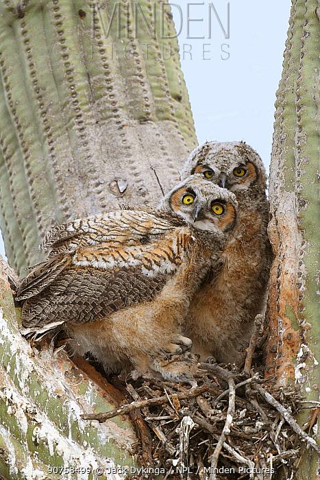 Great horned owl (Bubo virginianus) chicks in the nest in Saguaro cacus (Carnegiea gigantea), Santa Catalina Mountain Foothills, Sonoran Desert, Arizona, USA.