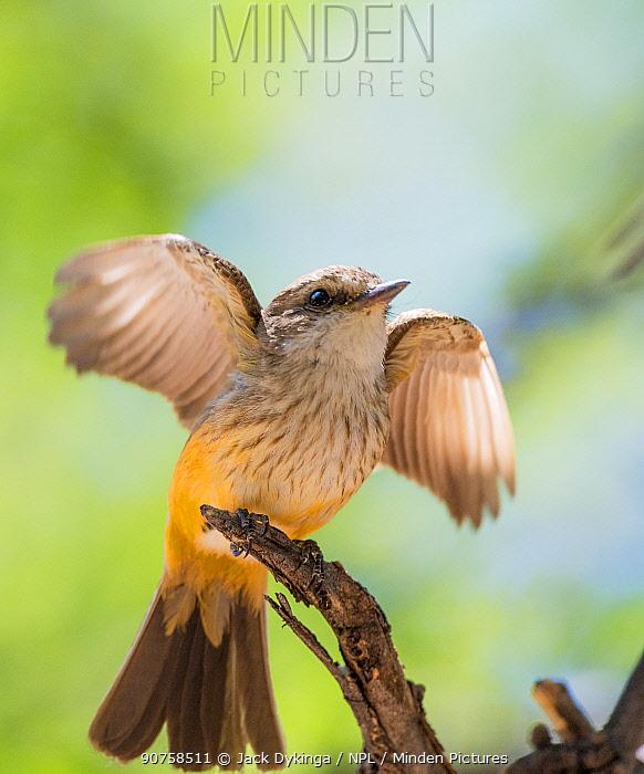 Vermilion flycatcher (Pyrocephalus rubinus) female stretching wings, Catalina State Park, Arizona, USA, May.