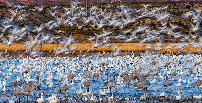 Sandhill cranes (Grus canadensis) and Snow geese (Chen caerulescens) Bosque del Apache National Wildlife Refuge, New Mexico, USA, December.
