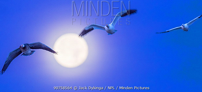 Snow geese (Chen caerulescens) in flight in front of super moon, Bosque del Apache National Wildlife Refuge, New Mexico, USA, December.