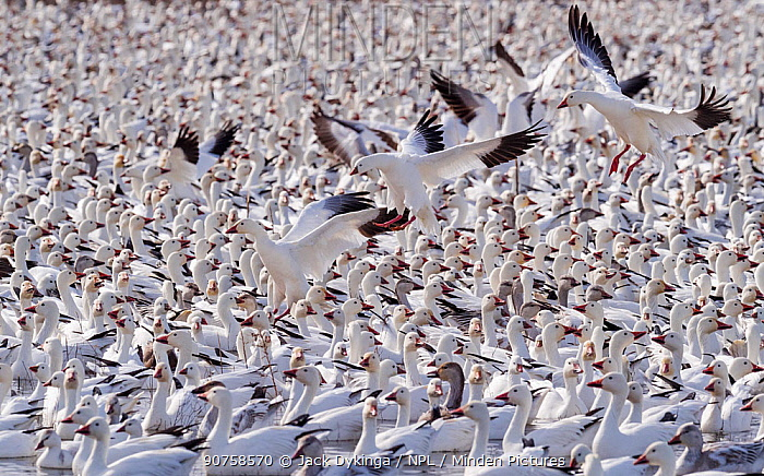 Snow geese (Chen caerulescens) large flock with some landing, Bosque del Apache, New Mexico, USA, December.