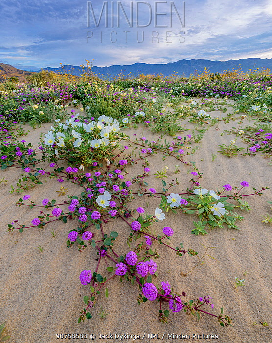 1563786 - - Desert landscape with flowering Sand verbena (Abronia), Desert gold (Geraea canescens), and Birdcage evening primrose (Oenothera deltoides), with the Santa Rosa Mountains in background. Anza-Borrego State Park, California, USA. March 2017.  These plants are flowering during on largest 'super-bloom in years' caused by increased winter rains.
