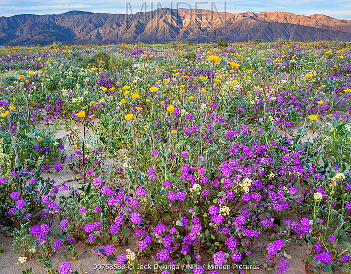 Desert landscape with flowering Sand verbena (Abronia), Desert gold (Geraea canescens), and Birdcage evening primrose (Oenothera deltoides), with the Santa Rosa Mountains in background.  Anza-Borrego State Park,  California, USA. March 2017.  These plants are flowering during on largest 'super-bloom in years' caused by increased winter rains.