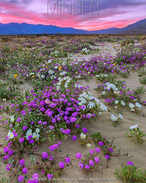 Desert landscape at sunset, with flowering Sand verbena (Abronia), Desert gold (Geraea canescens), and Birdcage evening primrose (Oenothera deltoides), with the Santa Rosa Mountains in background.  Anza-Borrego State Park,  California, USA. March 2017.  These plants are flowering during on largest 'super-bloom in years' caused by increased winter rains.