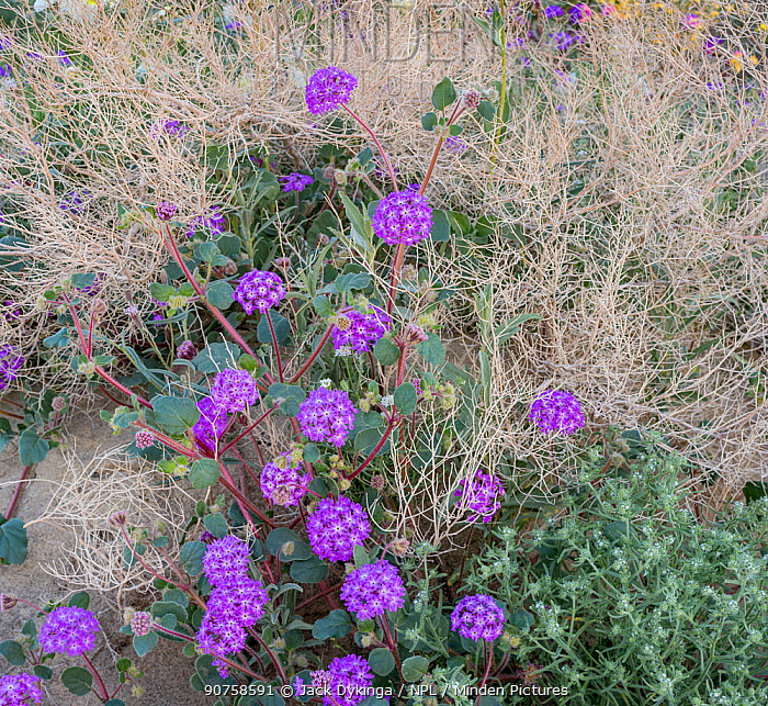 Sand verbena (Abronia) flowering in a dried up bush, Anza-Borrego State Park, California, USA, March 2017. These plants are flowering during on largest 'super-bloom in years' caused by increased winter rains.