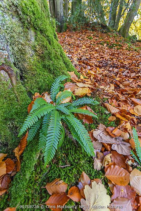 Hard fern (Blechnum spicant) infertile fronds, in Beech wood, autumn. Wye Valley, Monmouthshire,UK, November.