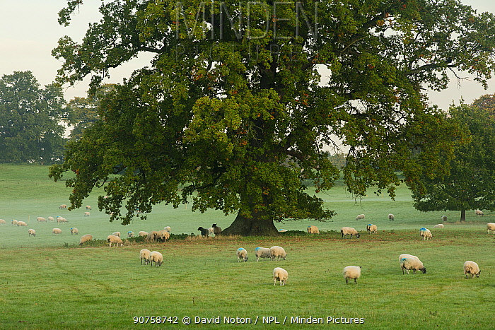 Sheep grazing near Berrington Hall, Herefordshire, England, UK, October 2015.