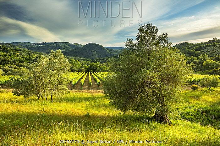 Vineyard at Castello Di Pontentino, near Seggiano, Province of Grosseto, Tuscany, Italy, June 2016.