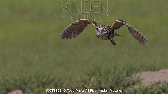 Burrowing owl (Athene cunicularia) in flight, Grasslands National Park, Val Marie, Saskatchewan, Canada. June