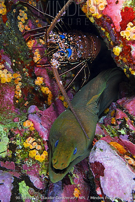 Panamic Green Moray (Gymnothorax castaneus) and Pronghorn Spiny Lobster (Panulirus penicillatus), Roca Partida islet, Revillagigedo Archipelago Biosphere Reserve / Archipielago de Revillagigedo UNESCO Natural World Heritage Site (Socorro Islands), Pacific Ocean, Western Mexico, March