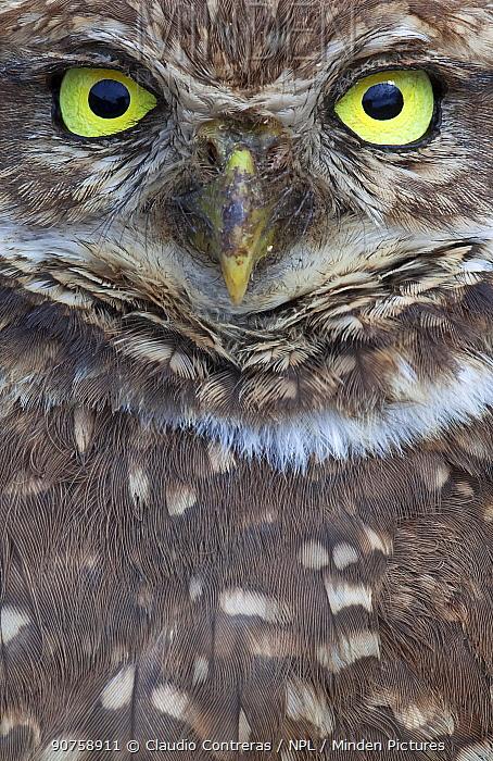Clarion Burrowing Owl (Athene cunicularia rostrata), Clarion Island, Revillagigedo Archipelago Biosphere Reserve / Archipielago de Revillagigedo UNESCO Natural World Heritage Site (Socorro Islands), Pacific Ocean, Western Mexico, January