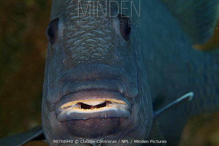Giant Damselfish (Microspathodon dorsalis), Socorro Island, Revillagigedo Archipelago Biosphere Reserve / Archipielago de Revillagigedo UNESCO Natural World Heritage Site (Socorro Islands), Pacific Ocean, Western Mexico, July