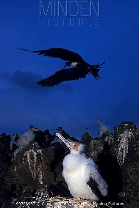 Great Frigatebird (Fregata minor) colony, chick in nest, San Benedicto Island, Revillagigedo Archipelago Biosphere Reserve / Archipielago de Revillagigedo UNESCO Natural World Heritage Site (Socorro Islands), Pacific Ocean, Western Mexico, December