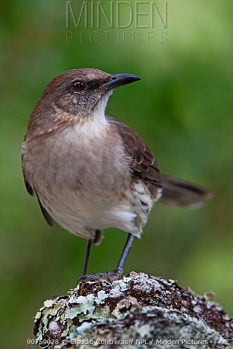 Socorro Mockingbird (Mimus graysoni), IUCN Critically Endangered, Socorro Island, Revillagigedo Archipelago Biosphere Reserve / Archipielago de Revillagigedo UNESCO Natural World Heritage Site (Socorro Islands), Pacific Ocean, Western Mexico, July