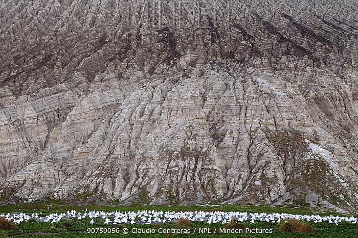 Masked Booby (Sula dactylatra) colony and slope of the Barcena volcano, San Benedicto Island, Revillagigedo Archipelago Biosphere Reserve / Archipielago de Revillagigedo UNESCO Natural World Heritage Site (Socorro Islands), Pacific Ocean, Western Mexico, March