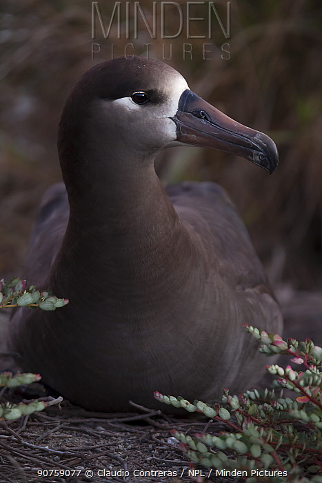 Black-footed Albatross (Phoebastria nigripes), San Benedicto Island, Revillagigedo Archipelago Biosphere Reserve / Archipielago de Revillagigedo UNESCO Natural World Heritage Site (Socorro Islands), Pacific Ocean, Western Mexico, IUCN redlist Near Threatened, March