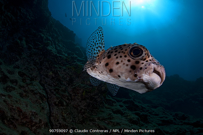 Spotfin Burrfish (Chilomycterus reticulatus), Socorro Island, Revillagigedo Archipelago Biosphere Reserve / Archipielago de Revillagigedo UNESCO Natural World Heritage Site (Socorro Islands), Pacific Ocean, Western Mexico, April