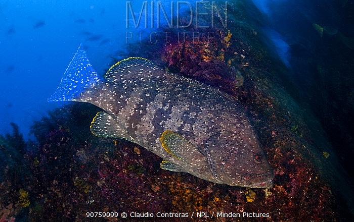 Leather Bass (Dermatolepis dermatolepis), Socorro Island, Revillagigedo Archipelago Biosphere Reserve / Archipielago de Revillagigedo UNESCO Natural World Heritage Site (Socorro Islands), Pacific Ocean, Western Mexico, April