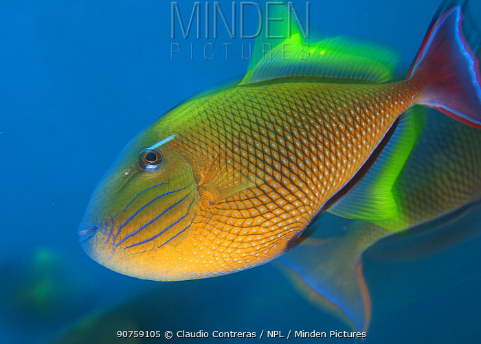 Redtail Triggerfish (Xanthichthys mento), Socorro Island, Revillagigedo Archipelago Biosphere Reserve / Archipielago de Revillagigedo UNESCO Natural World Heritage Site (Socorro Islands), Pacific Ocean, Western Mexico, April