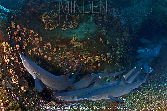 Whitetip Reef Shark (Triaenodon obesus) resting, IUCN Near Threatened, Roca Partida Islet, Revillagigedo Archipelago Biosphere Reserve / Archipielago de Revillagigedo UNESCO Natural World Heritage Site (Socorro Islands), Pacific Ocean, Western Mexico, April
