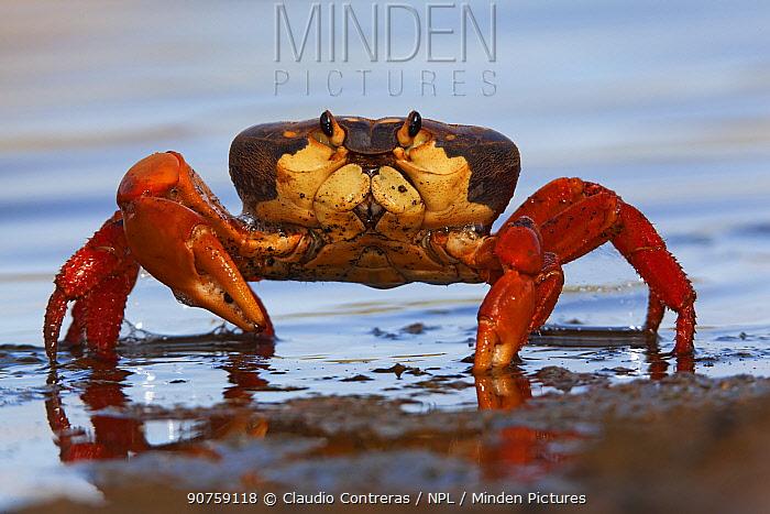Land Crab (Gecarcinus planatus), Socorro Island, Revillagigedo Archipelago Biosphere Reserve / Archipielago de Revillagigedo UNESCO Natural World Heritage Site (Socorro Islands), Pacific Ocean, Western Mexico, July